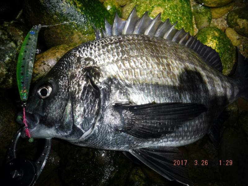 ホタルイカパターン チヌ 釣り方