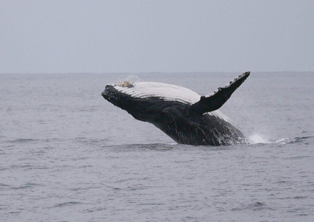 徳之島 鯨 ウォッチング